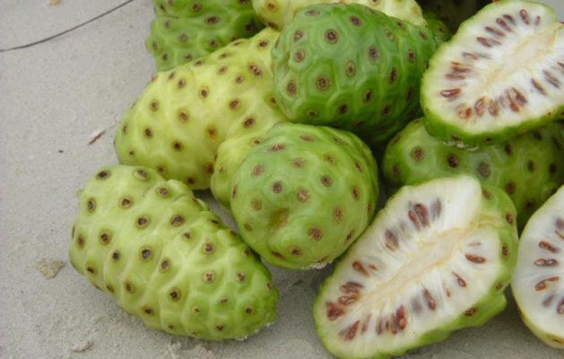 buah mengkudu, khasiatnya, ayam aduan, ayam bangkok