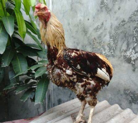 ayam tukong, ayam aduan, kalimantan