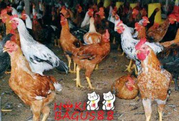 Penyakit Yang Sering Menyerang Ayam Kampung Super